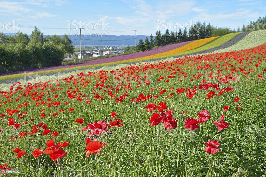 Flower field royalty-free stock photo