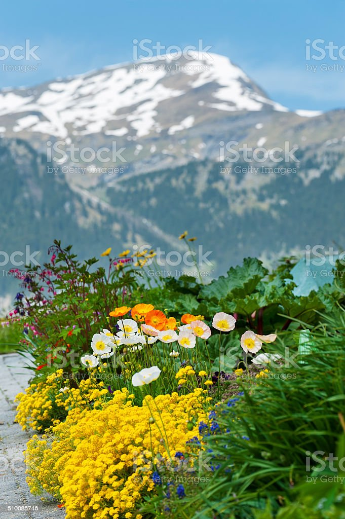 flower field with mountain alps background stock photo