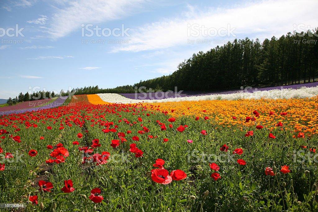 Flower Fields in Hokkaido, Japan royalty-free stock photo