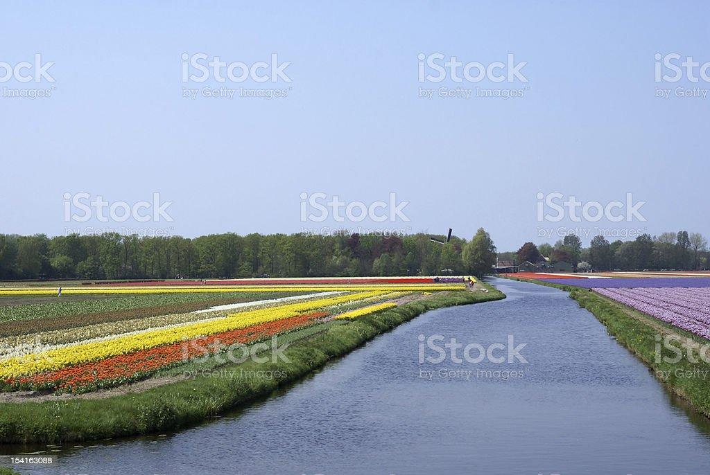 Flower fields near Keukenhof royalty-free stock photo