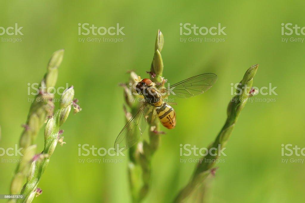 Flower fly stock photo