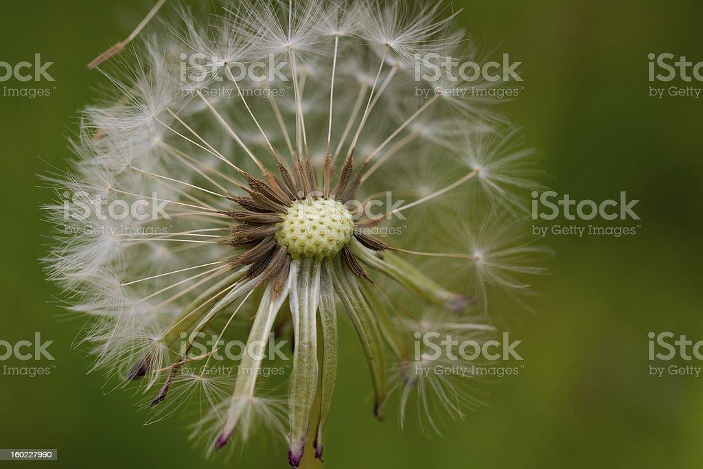Flower for nostalgia. royalty-free stock photo