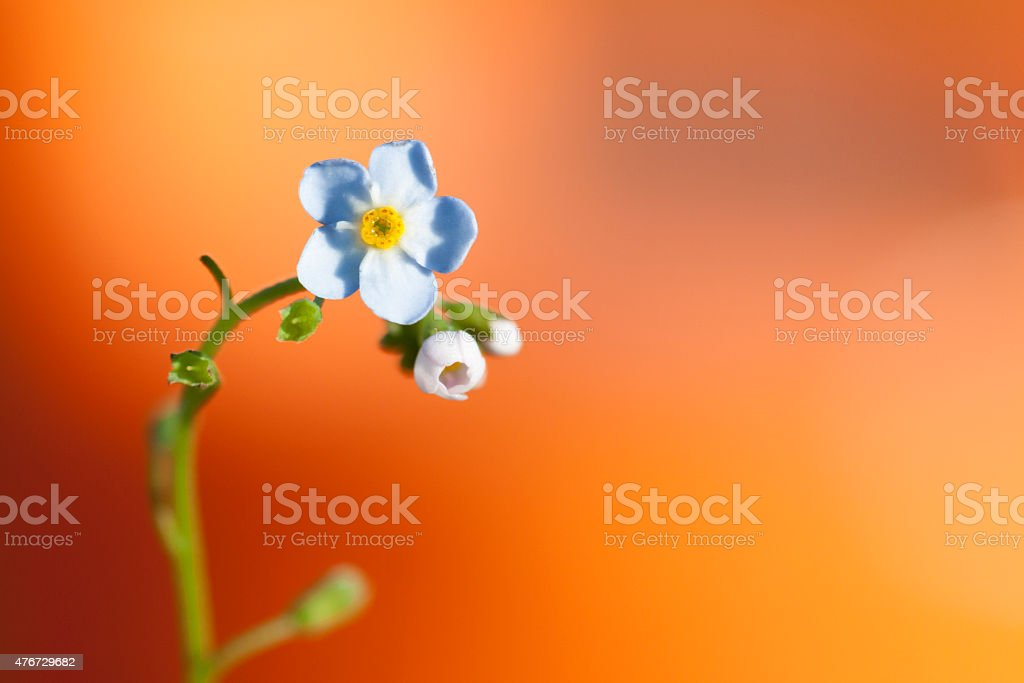 Flower forget-me on orange background stock photo