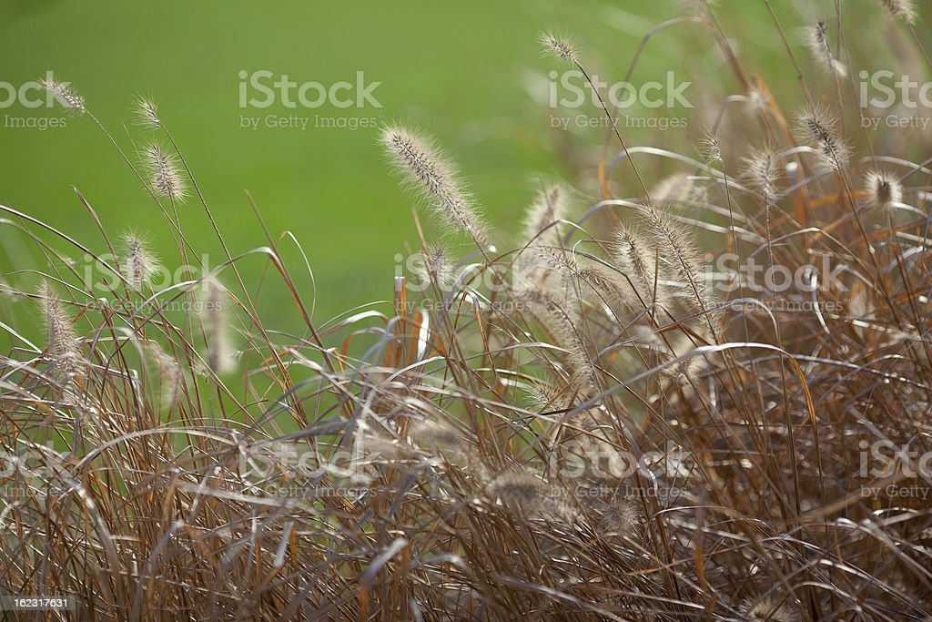 Flower foxtail weed against green background royalty-free stock photo