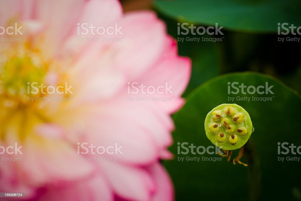 flower fructification green lake lotus photo red river sell summer royalty-free stock photo