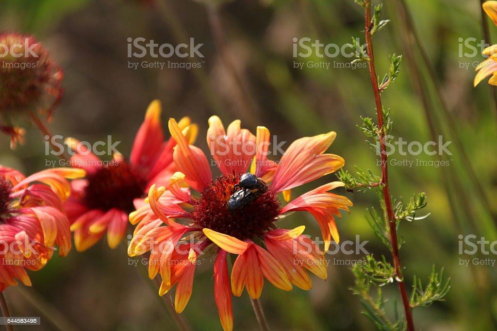 Flower , gaillardia and bee stock photo
