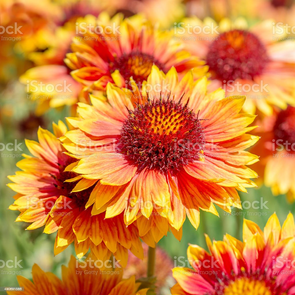 Flower Gaillardia stock photo