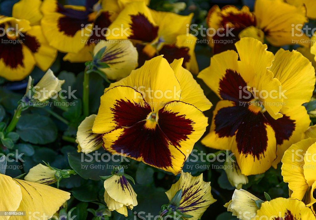 Flower Garden Pansy. Yellow, purplish petals. Close-up stock photo