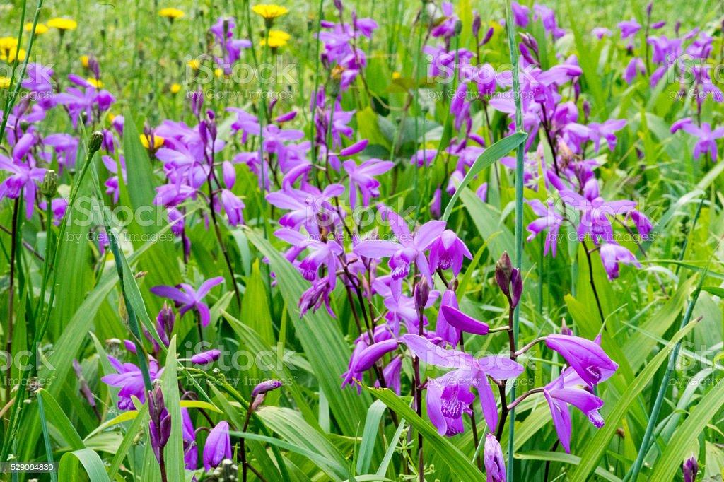 Jardin de fleurs violet et jaune (fleur) photo libre de droits