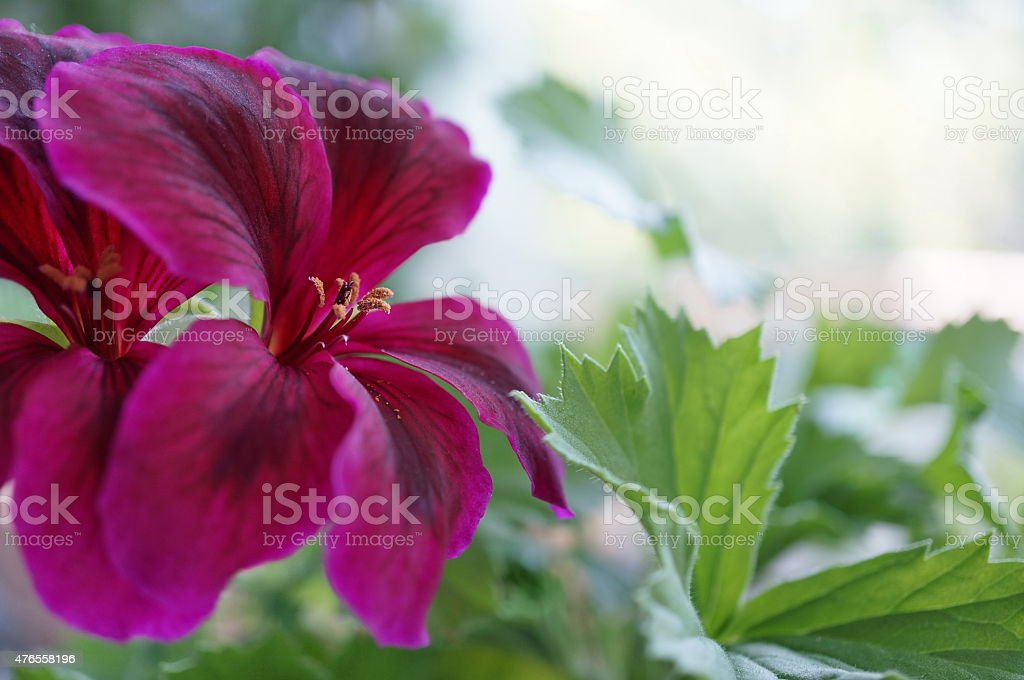 Flower Geranium stock photo