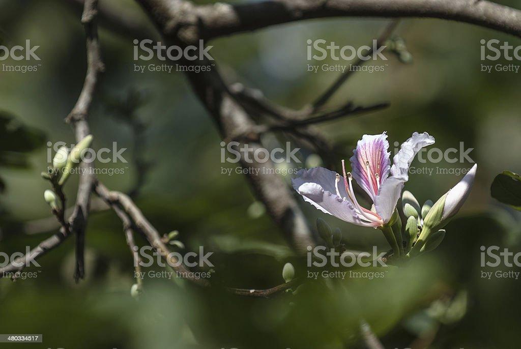 Kwiat giganteum Murdannia zbiór zdjęć royalty-free