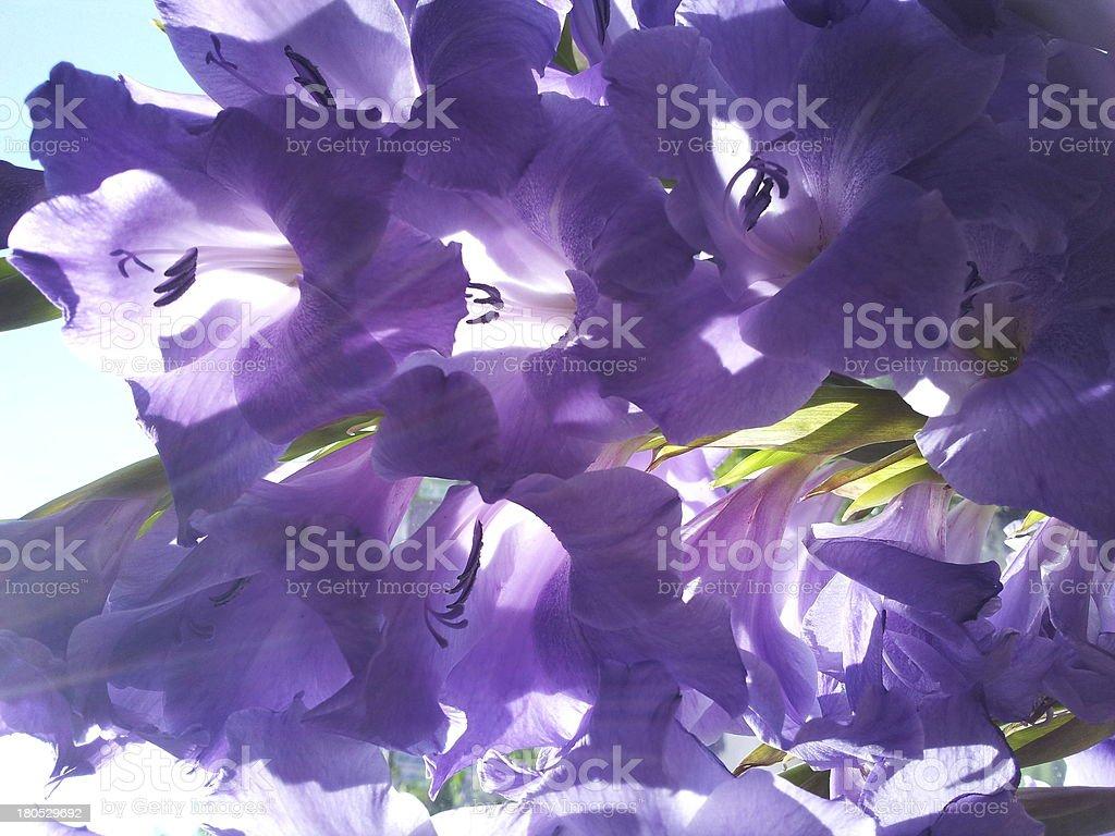 Flower - Gladiolus royalty-free stock photo