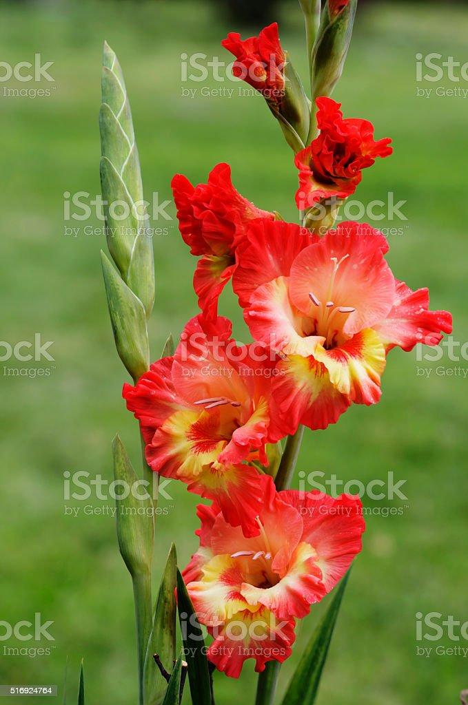 Flower gladiolus stock photo