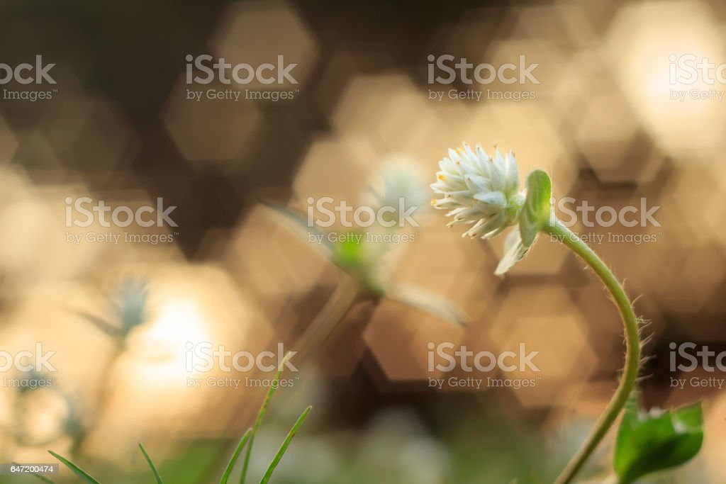 Flower grass on sunset with bokeh stock photo