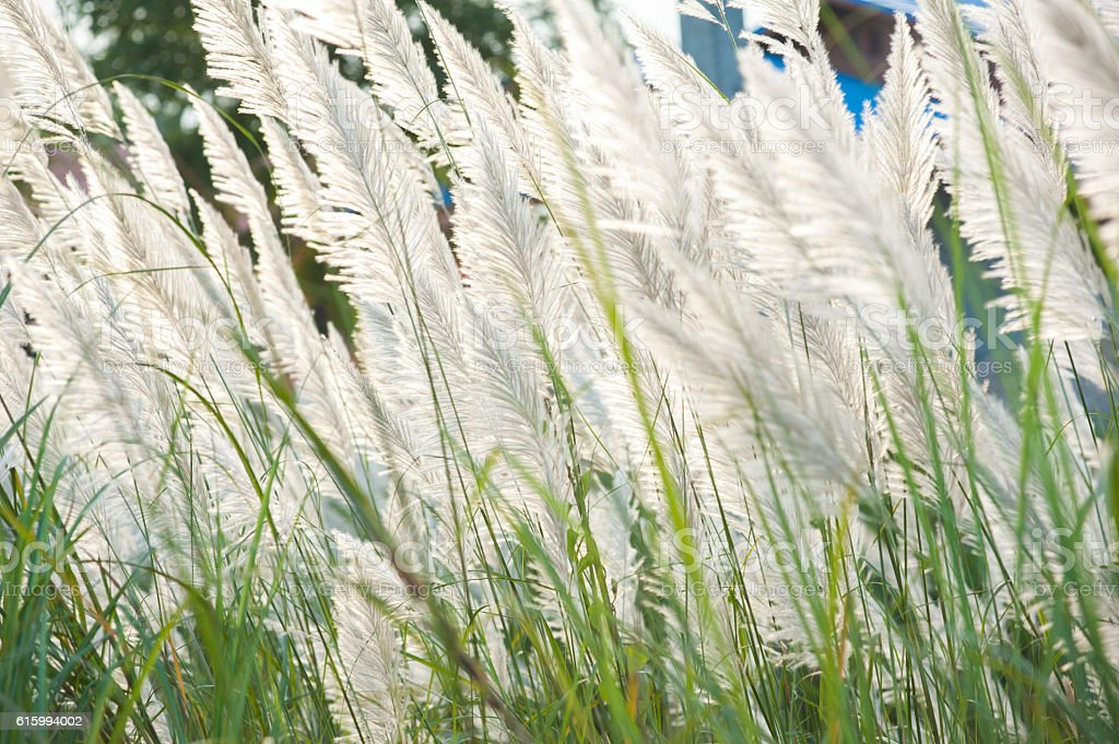 Flower grass while wind blow with sunshine at evening. stock photo