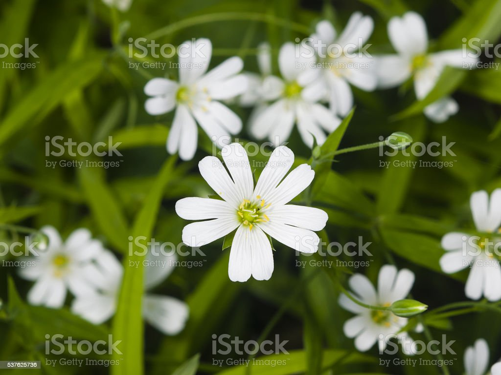 Flower Greater stitchwort, Stellaria holostea, macro, selective focus stock photo