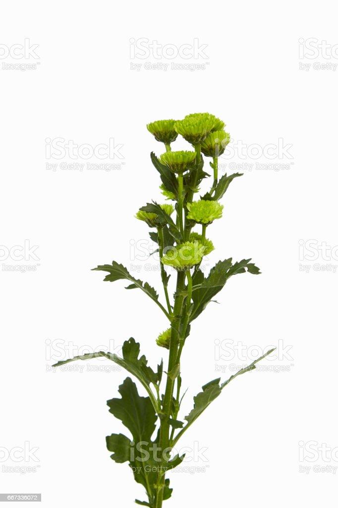 Flower green Chrysanthemum stock photo