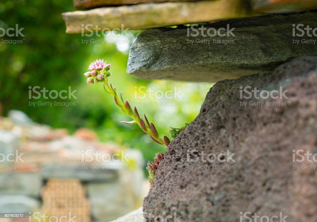 A flower growing between the stones. stock photo