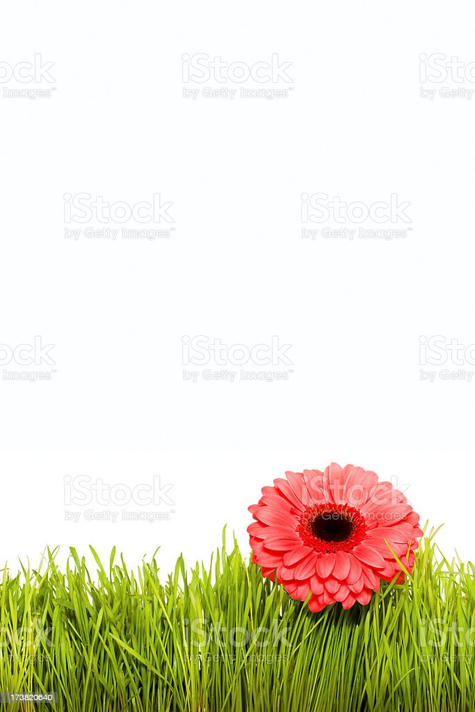 Flower growing in grass royalty-free stock photo