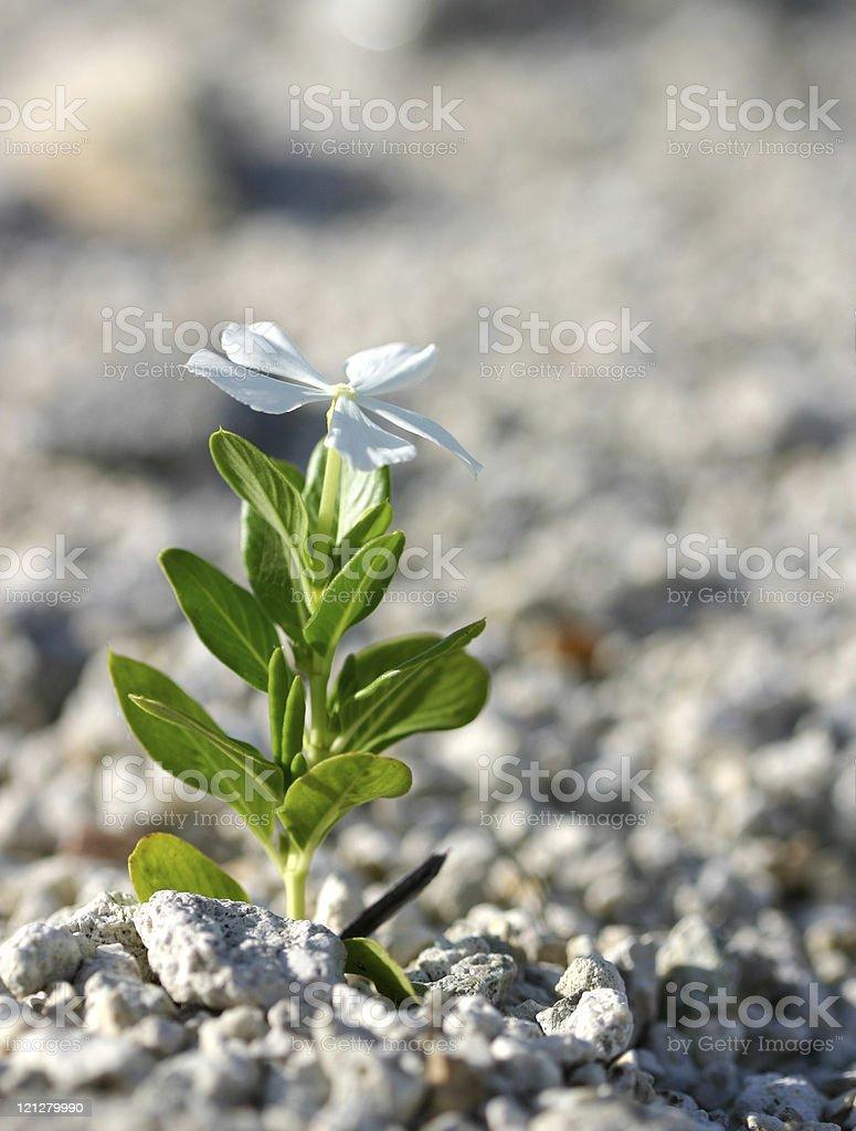 Flower growing in rocks stock photo