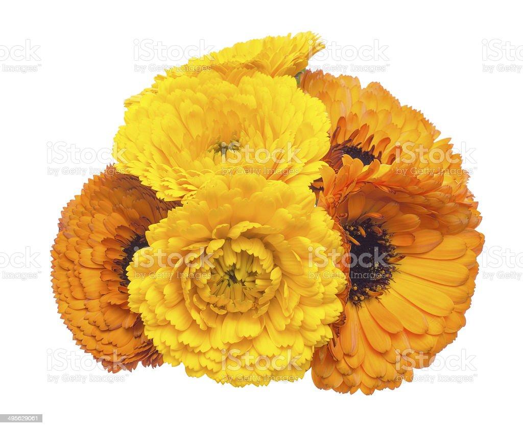 Flower head of pot marigold royalty-free stock photo