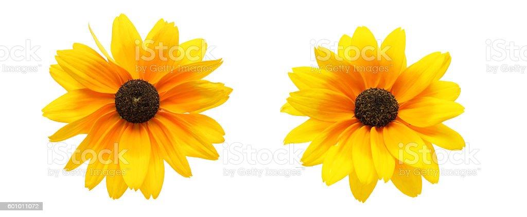 Flower head of Rudbeckia stock photo