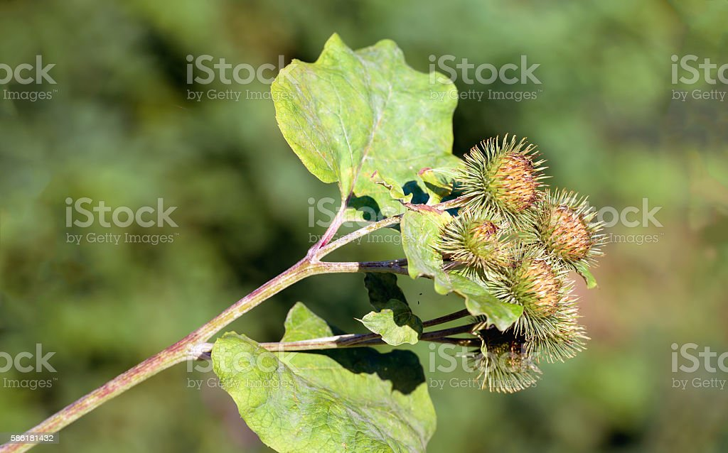 Flower heads of a Lesser Burdock plant from close stock photo
