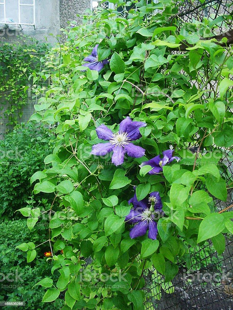 Fleur haie. photo libre de droits
