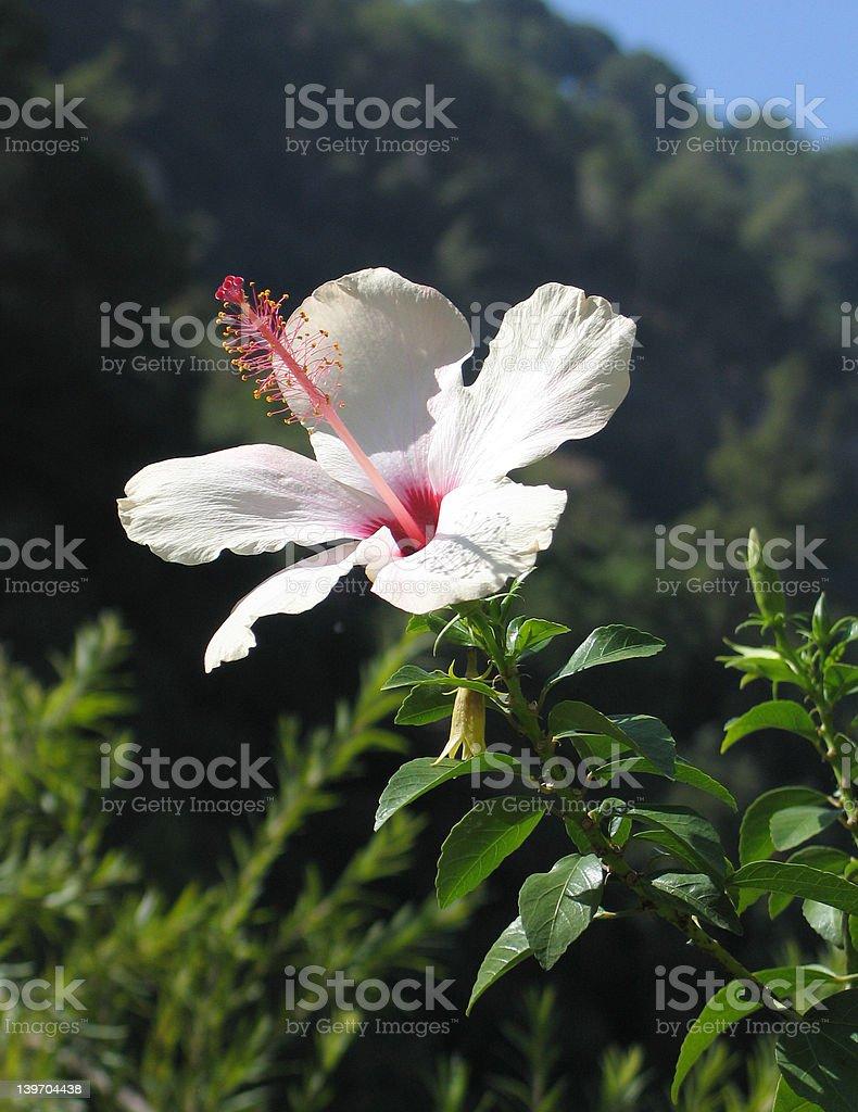 Fleur d'hibiscus photo libre de droits