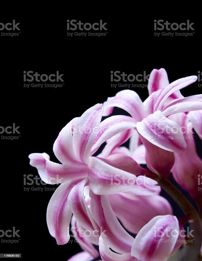 flower hyacinth royalty-free stock photo