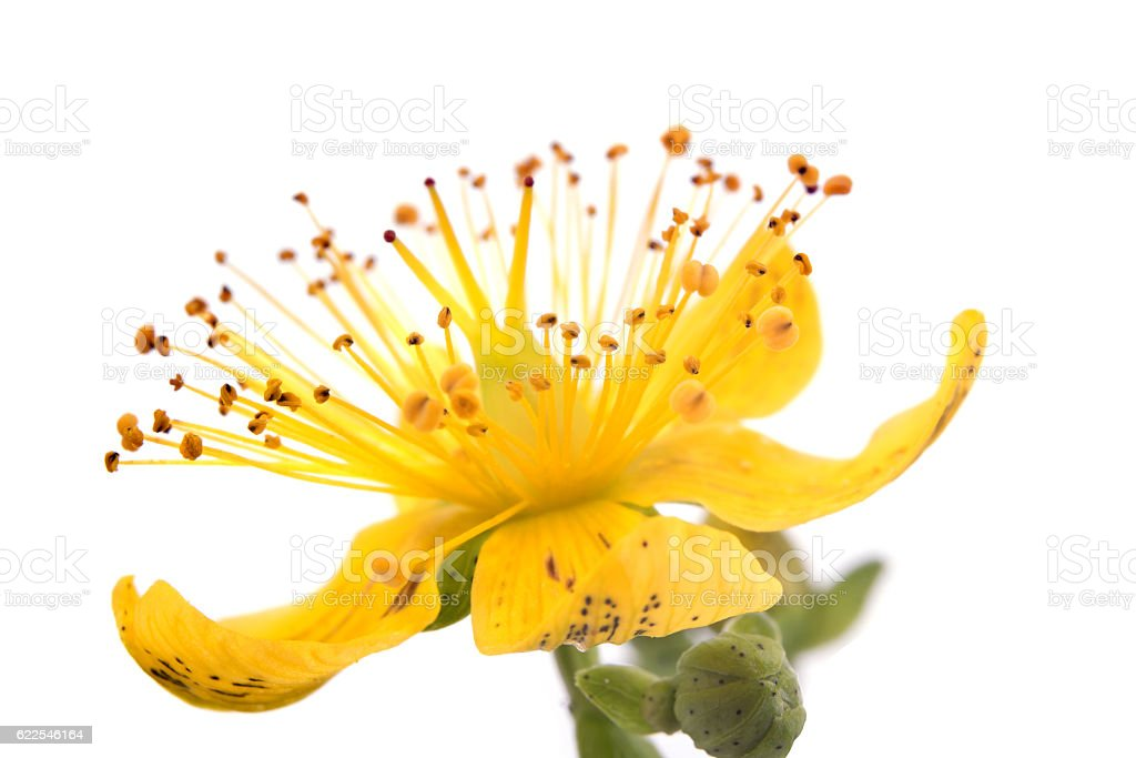 Flower Hypericum by close-up stock photo