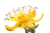 Flower Hypericum by close-up