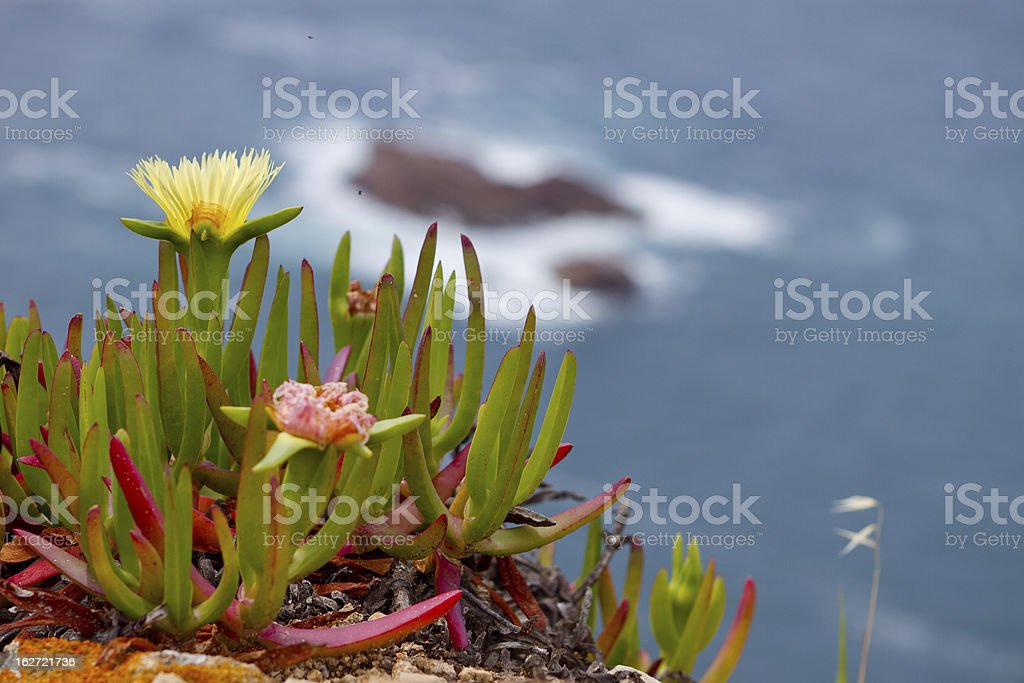 Flower Iceplant Rocky and Ocean background royalty-free stock photo