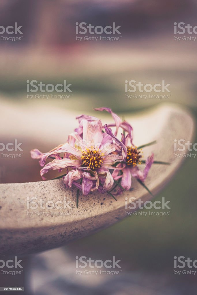Flower Immersion. Decaying cosmos flower on concrete stock photo