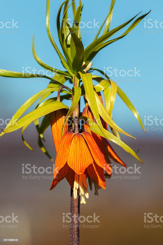 Flower imperial Fritillaria stock photo