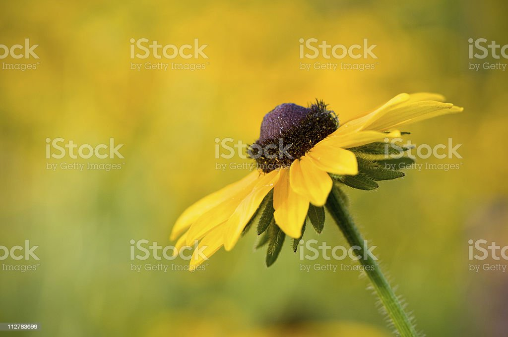 Flower in a field of wildflowers royalty-free stock photo