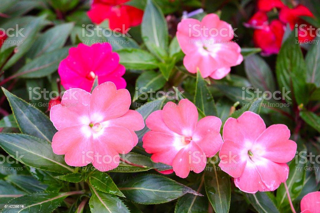 flower in cameron highland, malaysia stock photo