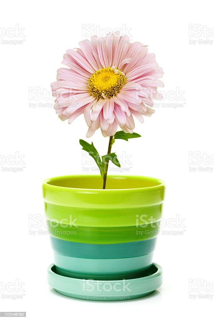 flower in ceramic pot royalty-free stock photo