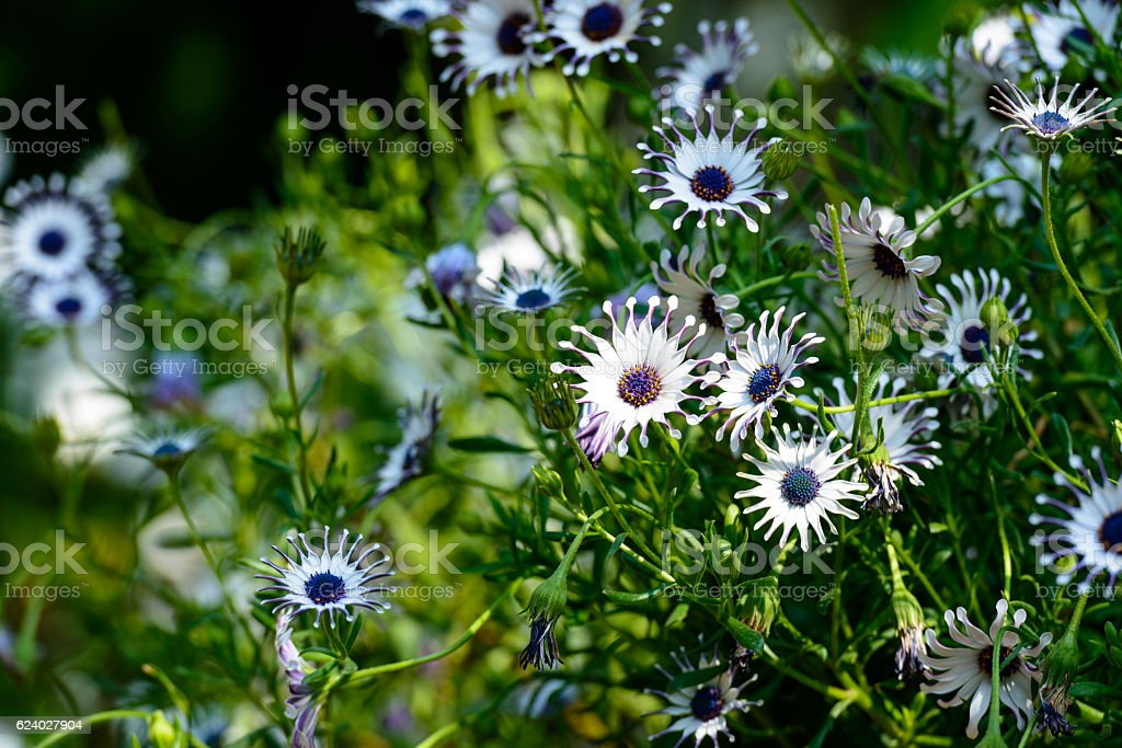 Flower in spring, dimorphotheca stock photo