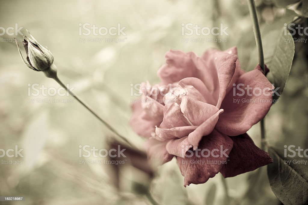 Flower in the Garden royalty-free stock photo