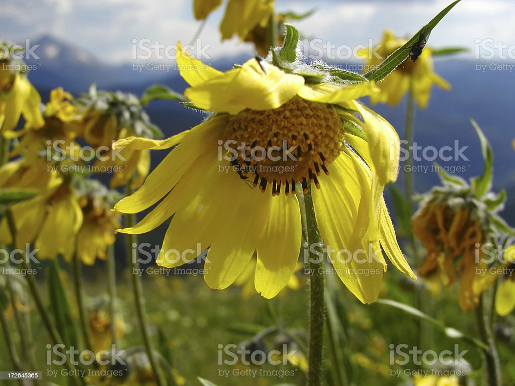 Flower in the Mountains stock photo