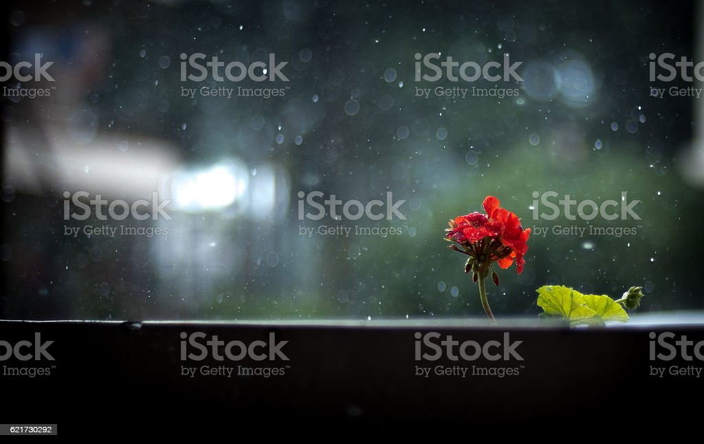 Flower In the Rain stock photo