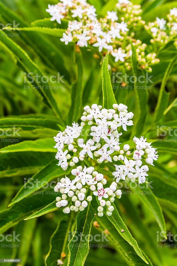 Flower inflorescence of Sambucus ebulus. stock photo