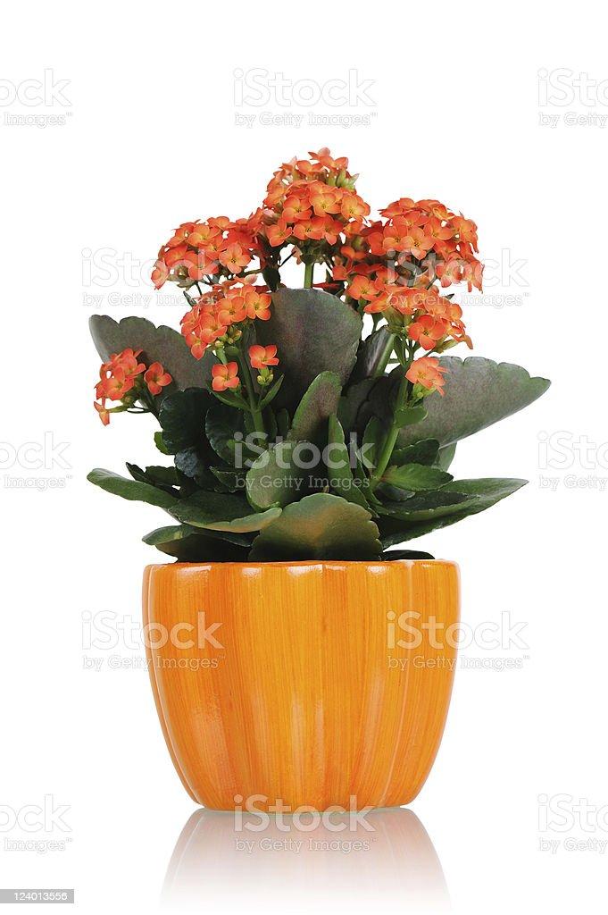 Flower Kalanchoe with orange pot stock photo