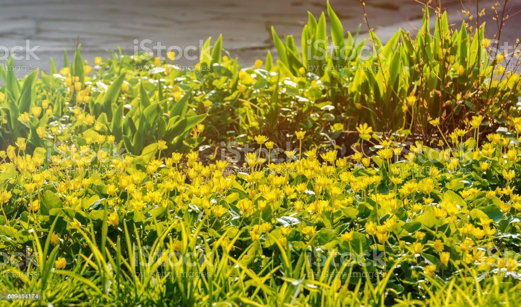 Flower Kingcup village bed in spring. stock photo