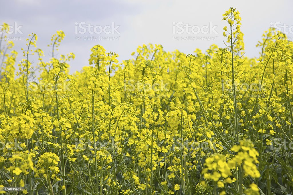 Flower landscape (Rape) royalty-free stock photo