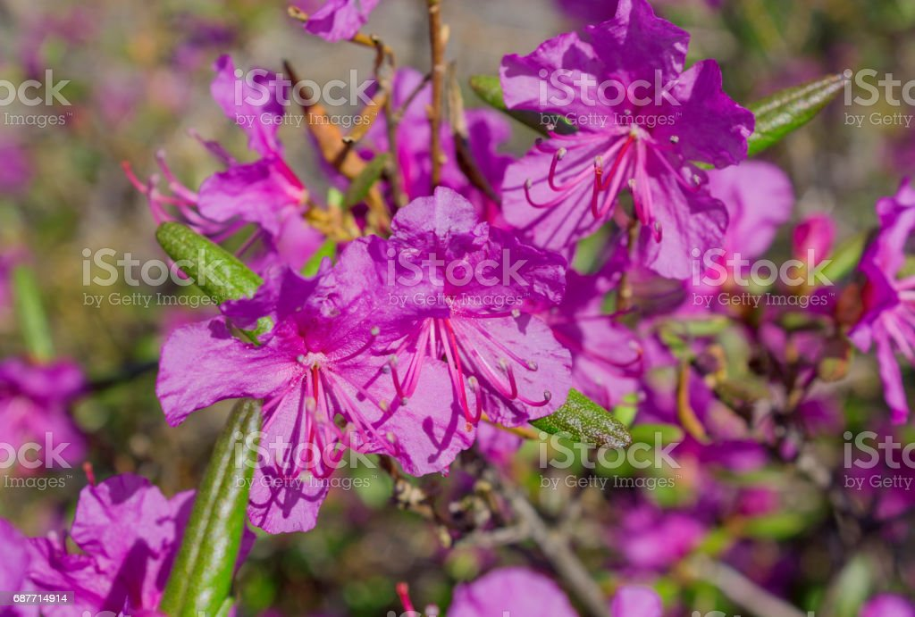 Flower Ledum palustre Rhododendron tomentosum plant close up stock photo