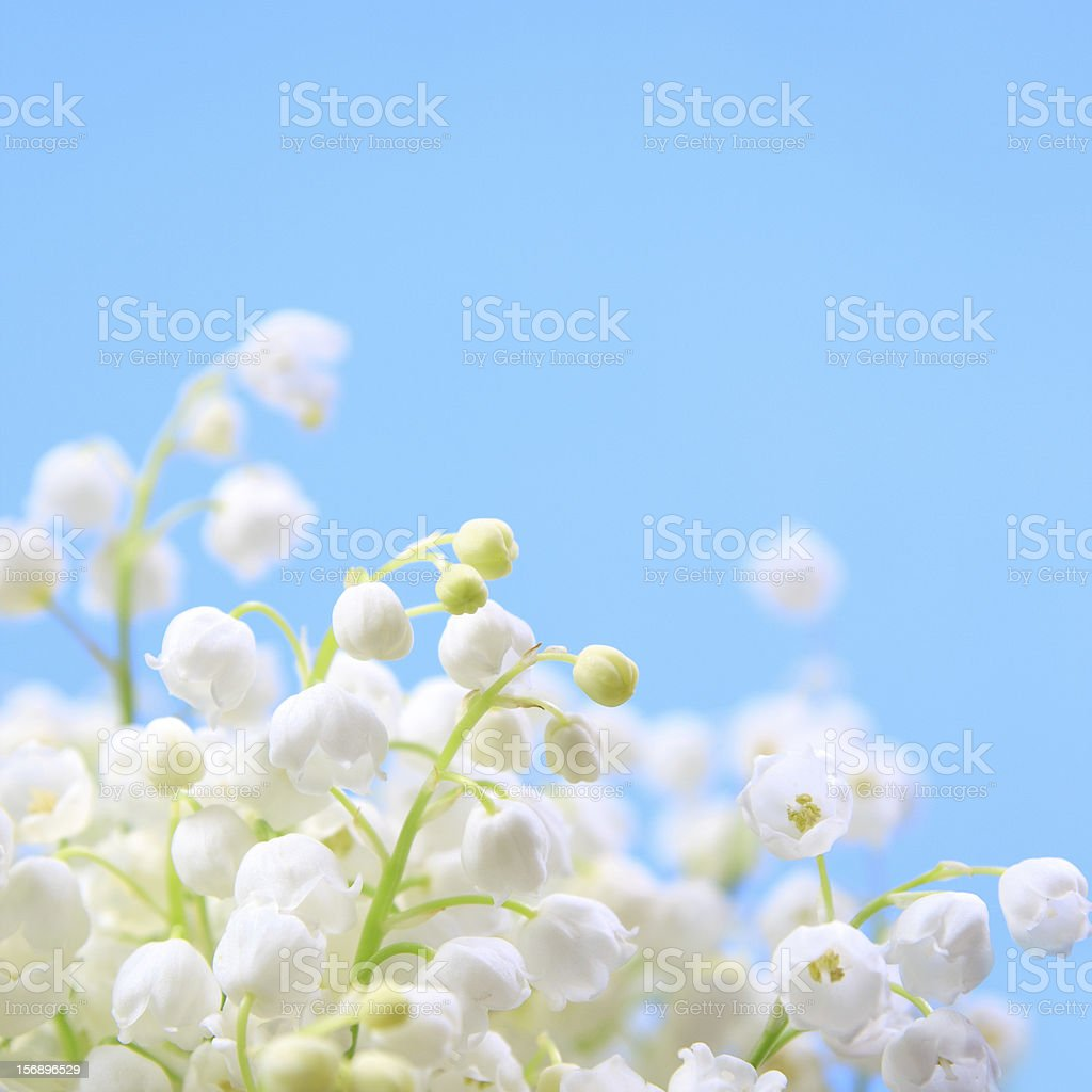 Flower lily of the valley royalty-free stock photo