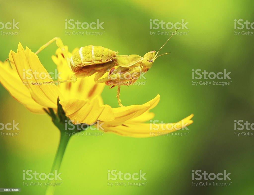 Flower Mantids royalty-free stock photo