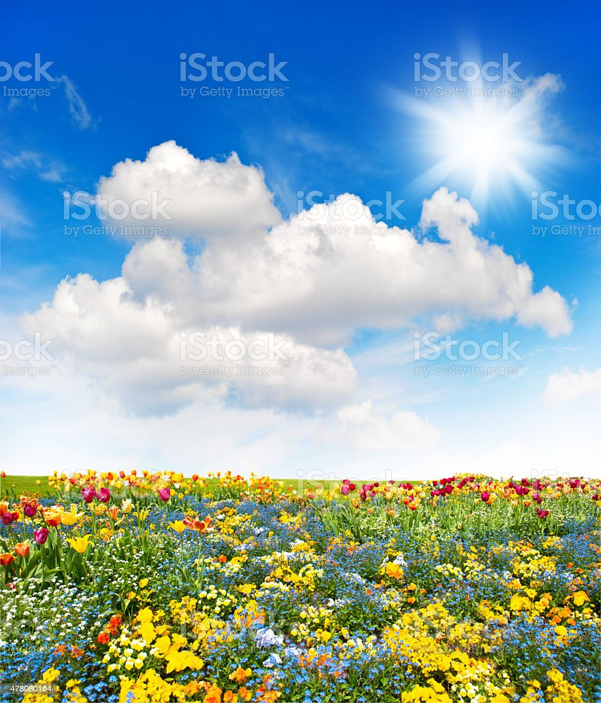 Flower meadow and green grass field over cloudy blue sky stock photo